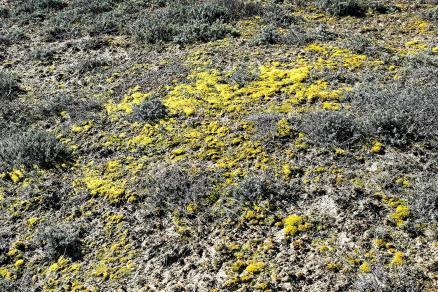 zone à Immortelles des sables, avec une couverture Bryo-lichénique (mousses et lichens) ; la mousse la mieux représentée semble être Tortula ruraliformis.