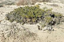 Tarnos-Ajonc d'Europe -Ulex europaeus- nanifié par le sel et le vent