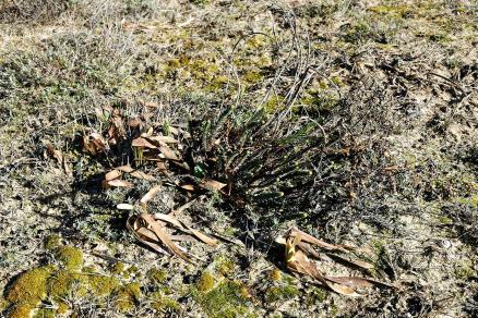 Tarnos- Lis Matthiole-Pancratum maritimum-dont les feuilles ont été affectées par le gel